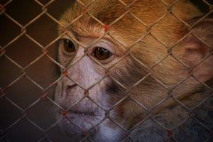 eingesperrter Affe